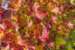 Hojas del vino rojo Imagen de archivo
