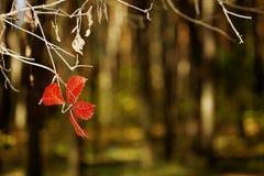 Hojas descoloradas del rojo Fotos de archivo