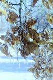 Hojas embaladas en hielo Fotos de archivo libres de regalías