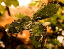 Hojas empapadas lluvia del acebo Fotografía de archivo libre de regalías