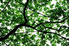 Hojas en árbol Imagen de archivo libre de regalías