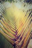 Hojas en abanico distintivas de la palma o de Ravenala mA del viajero Fotografía de archivo