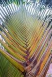 Hojas en abanico distintivas de la palma o de Ravenala mA del viajero Imagen de archivo libre de regalías