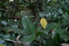 Hojas en arbusto Fotografía de archivo libre de regalías