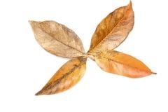 Hojas en Autumn Colors Forming Palmate Pattern Foto de archivo