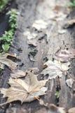 Hojas en corteza de árbol Fotografía de archivo