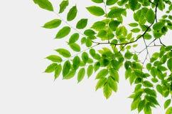 hojas en el fondo blanco Imágenes de archivo libres de regalías