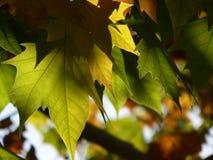 Hojas en el otoño Fotografía de archivo libre de regalías