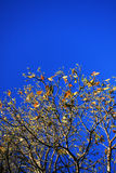 Hojas en fondo del cielo azul Fotografía de archivo libre de regalías