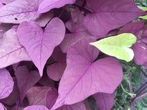 Hojas en forma de corazón púrpuras y verdes Foto de archivo libre de regalías