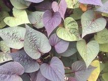 Hojas en forma de corazón púrpuras y verdes Fotografía de archivo libre de regalías