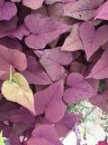 Hojas en forma de corazón púrpuras y verdes Foto de archivo