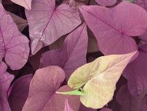 Hojas en forma de corazón púrpuras y verdes Imagenes de archivo