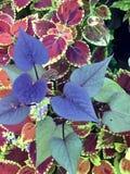 Hojas en forma de corazón púrpuras y verdes Fotos de archivo libres de regalías