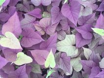 Hojas en forma de corazón púrpuras y verdes Imagen de archivo