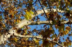 Hojas en la caída y el cielo azul Fotografía de archivo