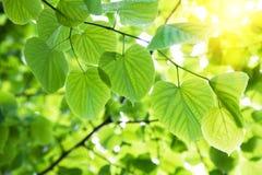 Hojas en luz del sol Imagenes de archivo