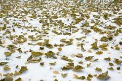 Hojas en nieve Imágenes de archivo libres de regalías