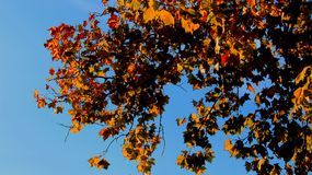 Hojas en otoño con el cielo azul Imagen de archivo libre de regalías