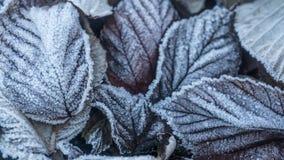 Hojas en otoño con helada Fotos de archivo libres de regalías