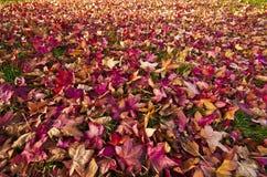 Hojas en otoño de la caída Fotografía de archivo