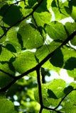 Hojas en sol Fotos de archivo libres de regalías