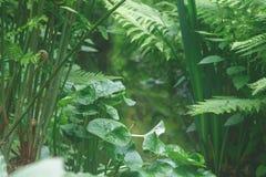 Hojas enormes y plantas del verde que crean la atmósfera tranquila en el AIA fotografía de archivo