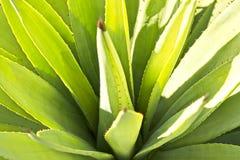 Hojas espinosas de una planta del áloe usada para los propósitos medicinales y curativos imagen de archivo libre de regalías
