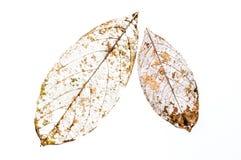 hojas esqueléticas Fotografía de archivo
