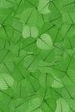 Hojas esqueléticas verdes Foto de archivo libre de regalías