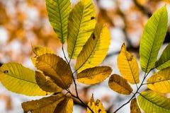 Hojas estacionales del otoño amarillo, verde y marrón de la caída del árbol de castaña Imagen de archivo