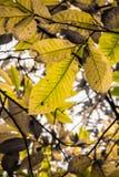 Hojas estacionales del otoño amarillo, verde y marrón de la caída del árbol de castaña Fotos de archivo