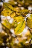 Hojas estacionales del otoño amarillo, verde y marrón de la caída del árbol de castaña Foto de archivo