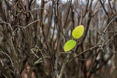 Hojas florecientes en ramas Foto de archivo libre de regalías