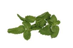 Hojas frescas de la menta verde (Pudina) Imagen de archivo libre de regalías