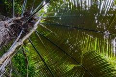 Hojas frescas de la palmera Fotografía de archivo libre de regalías