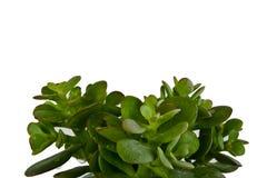 Hojas frescas de la planta suculent de interior Fotos de archivo libres de regalías