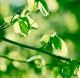 Hojas frescas de la primavera Foto de archivo libre de regalías
