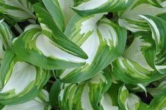 Hojas frescas de la primavera de la planta del hosta foto de archivo libre de regalías