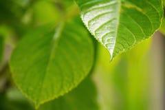 Hojas frescas de la primavera del verde vivo foto de archivo libre de regalías
