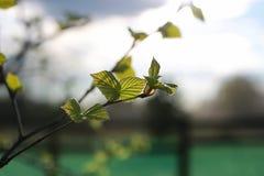 Hojas frescas de la primavera en un árbol Imágenes de archivo libres de regalías