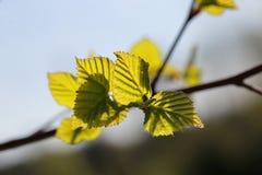 Hojas frescas de la primavera en un árbol Foto de archivo