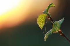 Hojas frescas de la primavera en un árbol Fotografía de archivo