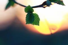 Hojas frescas de la primavera en un árbol Fotos de archivo libres de regalías