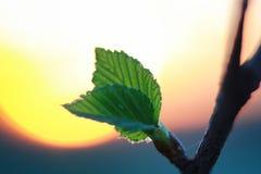 Hojas frescas de la primavera en un árbol Foto de archivo libre de regalías