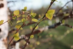 Hojas frescas de la primavera en una puesta del sol del árbol Fotos de archivo libres de regalías