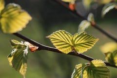 Hojas frescas de la primavera en una puesta del sol del árbol Imágenes de archivo libres de regalías