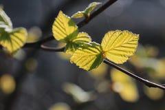 Hojas frescas de la primavera en una puesta del sol del árbol Imagen de archivo