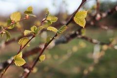 Hojas frescas de la primavera en una puesta del sol del árbol Imagen de archivo libre de regalías