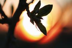 Hojas frescas de la primavera en una puesta del sol del árbol Fotografía de archivo libre de regalías